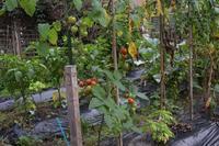 自然栽培自宅の庭トマト蚊 - 自然栽培 釧路日記