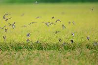 稲刈り間近 - 綺麗な野鳥たち