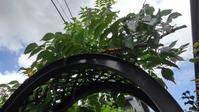 ノウゼンカズラ剪定 - うちの庭の備忘録 green's garden