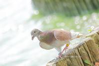# レース鳩(迷子?) - TORI たどり (小鳥、わんこ、写真 ♥)