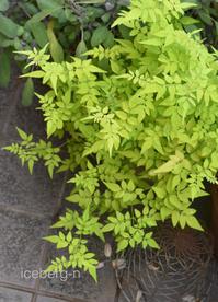 葉色が素敵なカラーリーフ - 小さな庭 2