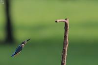 カワセミの飛びつきその1 - 野鳥公園
