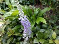 トウテイラン(ベロニカ) - natural garden~ shueの庭いじりと日々の覚書き