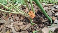 マルコ・ポーロ倒れる - うちの庭の備忘録 green's garden