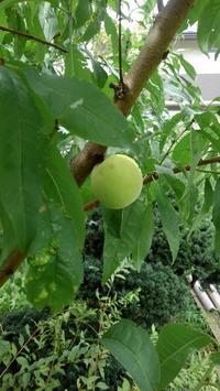 桃の実落ちる - うちの庭の備忘録 green's garden