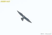 鷹の渡り6<ハヤブサ> - 奥武蔵の自然