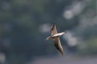アオアシシギ① 飛んできた - 気まぐれ野鳥写真