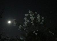 夜空のサルスベリ - マリカの野草画帖