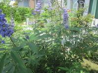 西洋ニンジンボクとルリマツリ - 花の自由旋律