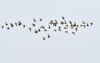 ムナグロの飛翔 - ひげ親爺の探鳥日記