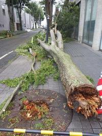 《台風15号》芸術館横のケヤキが折れました - みとぶら