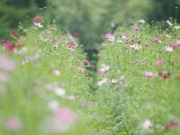 鼻高展望花の丘のコスモス畑2 - 光の音色を聞きながら Ⅳ
