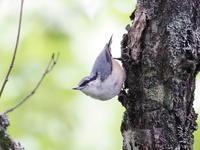 小田代ヶ原にいたゴジュウカラ - コーヒー党の野鳥と自然パート3