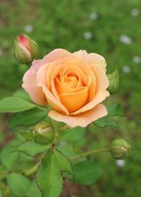 挿し木バラの開花&秋の花 - ペコリの庭 *