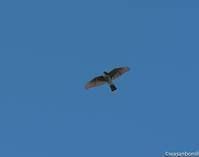 蒼い - 鷹の渡り観察日記(群馬県)