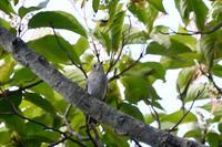 コサメビタキ - 新 鳥さんと遊ぼう