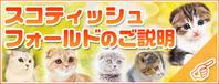 【猫図鑑】スコティッシュフォールド/子猫を探す/宮城 - 宮城・仙台ペットショップ鈴花