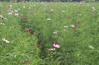 鼻高展望花の丘のコスモス畑3 - 光の音色を聞きながら Ⅳ