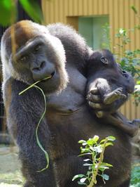 沢山食べて元気でいてね[京都市動物園] - a diary of primates