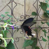 黒い蝶/のあちんおかえりなさい。 - Mayumin's rose garden&table 小さな秘密の花園で