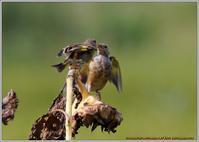 カワラヒワひまわりは枯れても - 野鳥の素顔 <野鳥と日々の出来事>