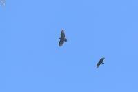 クマタカとハチクマの競争 - 野鳥公園