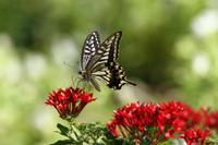 ナミアゲハ台風の猛威に耐えて - 蝶のいる風景blog