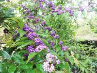 小紫式部 - だんご虫の花