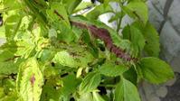コリウスに芋虫 - うちの庭の備忘録 green's garden