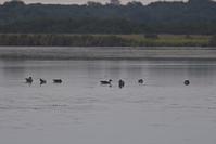 ヒシクイ到着~今週のウトナイ湖 - やぁやぁ。