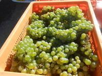 収穫したばかりのシャルドネ。これからワインになります! - のび丸亭の「奥様ごはんですよ」日本ワインと日々の料理
