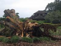 《台風15号》偕楽園、左近の桜が倒れました - みとぶら