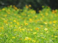 鼻高展望花の丘のコスモス畑4 - 光の音色を聞きながら Ⅳ