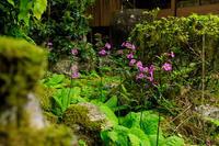 九輪草咲く地蔵院 - 花景色-K.W.C. PhotoBlog
