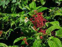 ツマベニチョウ - 飛騨山脈の自然