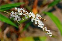 田園に白花サクラタデ咲きそろう - 気ままにデジカメ散歩