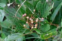 ■折れた枝の実19.9.11(ミズキ、カラスザンショウ、ヌルデ) - 舞岡公園の自然2