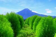 令和元年9月の富士(9)大石公園コキアと富士 - 富士への散歩道 ~撮影記~