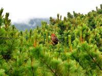 大雪山で出会った生き物などⅠ鳥 - 旅のかほり