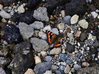 大雪山で出会った生き物たちⅢ蝶 - 旅のかほり