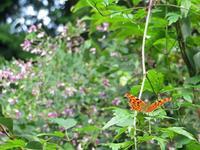 秋のシータテハ - 秩父の蝶