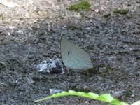 秋のウラギンシジミ - 秩父の蝶