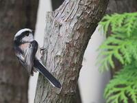 庭にエナガ - TACOSの野鳥日記