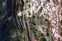 巨木の光 - feel a season