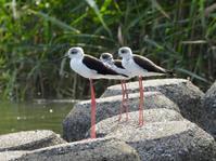 セイタカシギ、アオアシシギ他@多摩川河口 - 青爺の野鳥日記