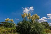 満開のキバナコスモス - あだっちゃんの花鳥風月