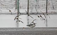 メダイチドリ。 - 季節の野鳥~Wildbirds archives