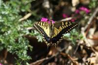 キアゲハ台風が過ぎて - 蝶のいる風景blog