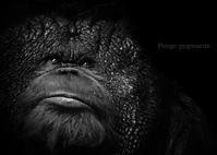 オランウータン:Pongo pygmaeus - 動物園の住人たち写真展(はなけもの写眞店)
