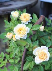 今咲いてるバラ&more - ペコリの庭 *